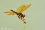 Eastern Amberwing (male)