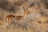 impala(Aepyceros melampus)