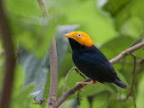 golden-headed manakin(Pipra erythrocephala, NL: goudkopmanakin)