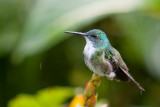 white-chested emerald(Amazilia brevirostris, NL: witborstamazilia)