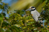yellow-crowned night heron(Nyctanassa violacea, NL: geelkruinkwak)