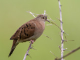 ruddy ground-dove(Columbina talpacoti, NL: steenduif)