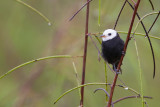 white-headed marsh tyrant(Arundinicola leucocephala, NL:  witkopwatertiran)
