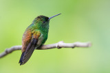 copper-rumped hummingbird(Amazilia tobaci, NL: koperrugamazilia)