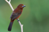 silver-beaked tanager (f.)(Ramphocelus carbo, NL:  fluweeltangare)