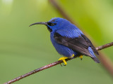 purple honeycreeper (m.)(Cyanerpes caeruleus, NL: purpersuikervogel)