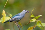 blue-grey tanager(Thraupis episcopus, NL: bisschopstangare)