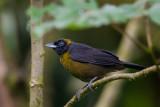dusky-faced tanager(Mitrospingus cassinii)