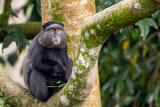blue monkey(Cercopithecus mitis)