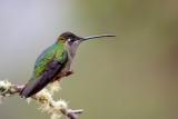 admirable hummingbird (f.)(Eugenes spectabilis)