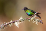 fiery-throated hummingbird(Panterpe insignis)