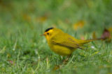 wilsons's warbler(Cardellina pusilla)