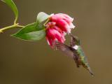 volcano hummingbird(Selasphorus flammula)