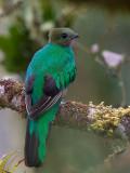 resplendent quetzal (f.)(Pharomachrus mocinno)
