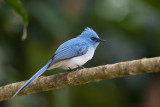 white-tailed blue-flycatcher(Elminia albicauda)