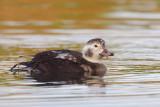 Swans Geese Ducks