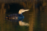 Rare and Scarce Birds in the UK