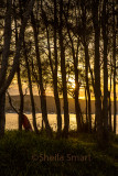 Sunset through trees at Pittwater