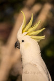 Portrait of a cockatoo