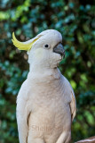 Sulphur crested cockatoo with 135