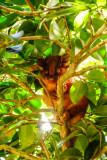 Ringtail possum baby