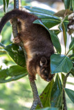 Baby ringtail possum separated from its mother