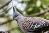 Crested pigeon close