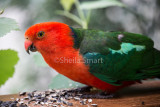 King parrot male