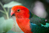 Colourful male king parrot
