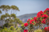 Red flowering gum at Blue Mountains