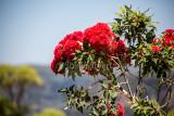Flowers of red flowering gum