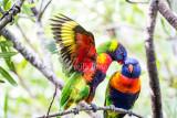 Rainbow lorikeet pair