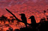 Kookaburras at sunset