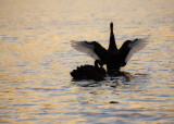 Black swan about to takeoff
