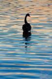 Black swan silhouette