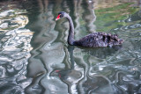 Black swan with tree reflection, Narrabeen