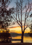 Tree at sunset Narrabeen