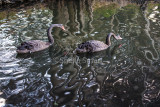 Two black swans with tree reflection at Narrabeen Lake