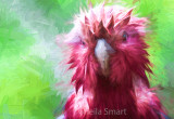 Close up of wet galah
