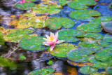 Lily in Monet's pond