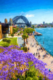 Sydney Harbour Bridge with jacaranda trees in foreground