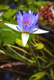 Single purple lily