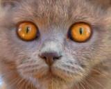 British blue kitten's eyes