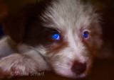 Blue eyed border collie puppy