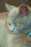 Pensive British blue kitten