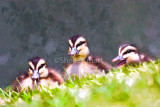 Ducklings in the grass.