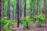 Three tree ferns in Australian bushland