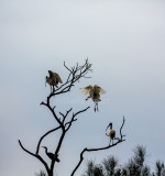 Spoonbill landing in tree with other sea birds