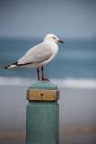 Silver gull on post