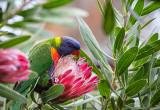 Rainbow lorikeet eating protea flowers